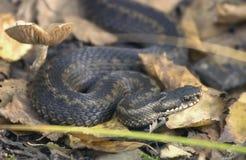 Berus de Vipera de serpent Image stock