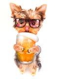 Berusad hund med öl fotografering för bildbyråer