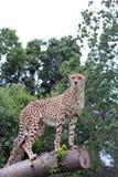 Überwachender Gepard Stockbild