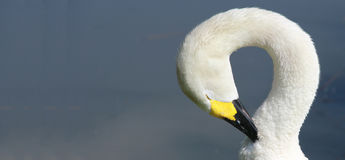 Berwick Swan, der seinen Hals wölbt Stockfotografie