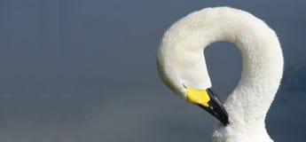 Berwick Swan die zijn hals overspannen stock fotografie
