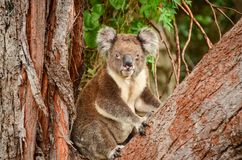 Besöka koalan Royaltyfri Foto
