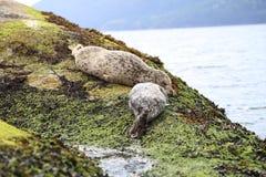 Besöka Vancouver och se gulligt för att behandla som ett barn sjölejon och förtjusande skyddsremsor som sover på stranden Royaltyfria Bilder