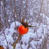 Bes van een dogrose in een de winter sneeuw ijzig bos royalty-vrije stock foto