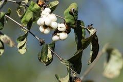 Bes van gemeenschappelijke snowberry royalty-vrije stock fotografie