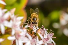 ` Beschäftigt als Biene ` 2-5 Stockfotografie