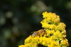 Beschäftigte Biene an der Goldrute stockbilder