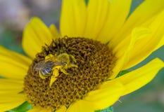 Beschäftigte Biene, die Blütenstaub von a-Sonnenblume sammelt Stockfotos