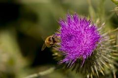 Beschäftigte Biene und Mariendistel Lizenzfreie Stockfotos