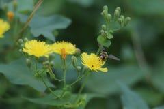 Beschäftigte Biene verbessern jede glänzende Stunde stockbilder