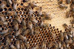 Beschäftigte Bienen, Abschluss herauf Ansicht der Arbeitsbienen auf Bienenwabe Stockbilder