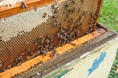 Beschäftigte Bienen, Abschluss herauf Ansicht der Arbeitsbienen auf Bienenwabe Lizenzfreie Stockfotos