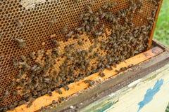 Beschäftigte Bienen, Abschluss herauf Ansicht der Arbeitsbienen auf Bienenwabe Stockfotos