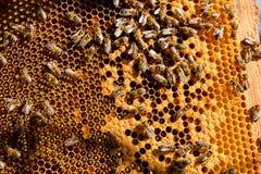 Beschäftigte Bienen, Abschluss herauf Ansicht der Arbeitsbienen auf Bienenwabe Stockfotografie