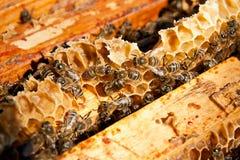Beschäftigte Bienen, Abschluss herauf Ansicht der Arbeitsbienen auf Bienenwabe Lizenzfreie Stockfotografie