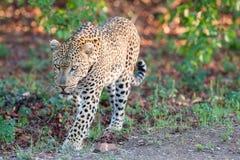 Beschäftigte Markierung des großen männlichen Leoparden sein Gebiet auf Baum Lizenzfreie Stockfotos