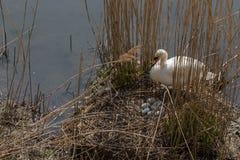 Beschäftigte Züchtung des Höckerschwans die Eier stockfoto