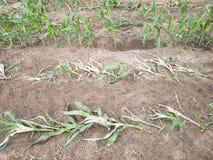 Beschadigd cornfield van Nebraska stock fotografie
