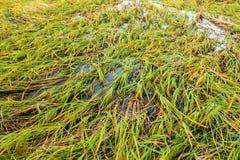 Beschadigde rijst Royalty-vrije Stock Afbeelding