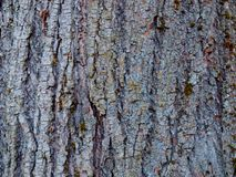 Beschaffenheit der Barke des alten Limettenbaums lizenzfreie stockfotografie