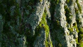 Beschaffenheit der Barke eines Baums Die Barke des Baums wird mit Moos bedeckt stock footage