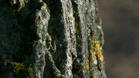 Beschaffenheit der Barke eines Baums Die Barke des Baums wird mit Moos bedeckt stock video