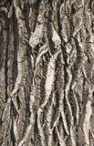 Beschaffenheit der Barke eines best?ndigen Baums lizenzfreies stockfoto