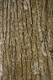 Beschaffenheit der Baumbarke Lizenzfreies Stockfoto