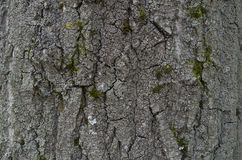 Beschaffenheit der Baumrinde Lizenzfreie Stockfotografie