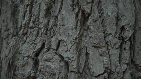 Beschaffenheit der Baumrinde Beschaffenheit der Baumrinde Baumstamm mit rauer Barke stock footage