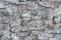 Beschaffenheit der Baumrinde behandelt mit weißer Insektenfarbe lizenzfreies stockbild