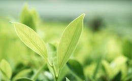 Beschaffenheit der Blattnahaufnahme auf grünem Hintergrund Stockfoto