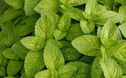 Beschaffenheit der grüner Minze Lizenzfreies Stockfoto