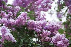 Beschaffenheit der lila Blume stockfoto
