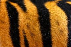 Beschaffenheit der realen Tigerhaut (Pelz) Lizenzfreie Stockfotos
