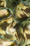 Beschaffenheit der riesigen Muschel Stockfotos