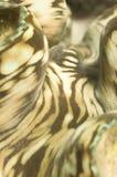Beschaffenheit der riesigen Muschel Stockbild
