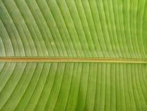 Beschaffenheit des Bananenblattes Stockbilder