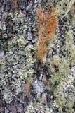 Beschaffenheit des Baum-Stammes mit Flechte und Moss Growing von ihr stockfotos