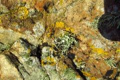 Beschaffenheit des gelben Mooses auf dem Stein Stockbild