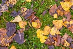 Beschaffenheit des goldenen Laubs und des grünen Grases Stockbilder