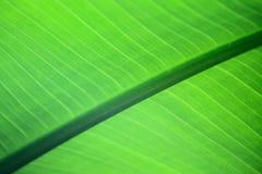 Beschaffenheit des grünen Blattes Stockbilder