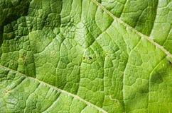 Beschaffenheit des grünen Blattes mit Adern Lizenzfreies Stockbild