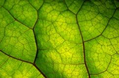 Beschaffenheit des grünen Blattes und der Adern Lizenzfreie Stockbilder