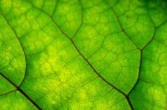 Beschaffenheit des grünen Blattes und der Adern Stockbilder