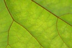 Beschaffenheit des grünen Blattes und der Adern Lizenzfreies Stockbild