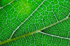 Beschaffenheit des grünen Blattes und der Adern Stockfotografie