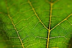 Beschaffenheit des grünen Blattes und der Adern Stockfoto