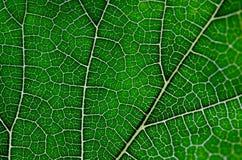 Beschaffenheit des grünen Blattes und der Adern Lizenzfreie Stockfotos