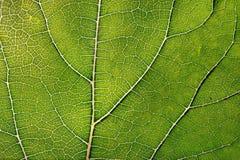 Beschaffenheit des grünen Blattes und der Adern Stockbild